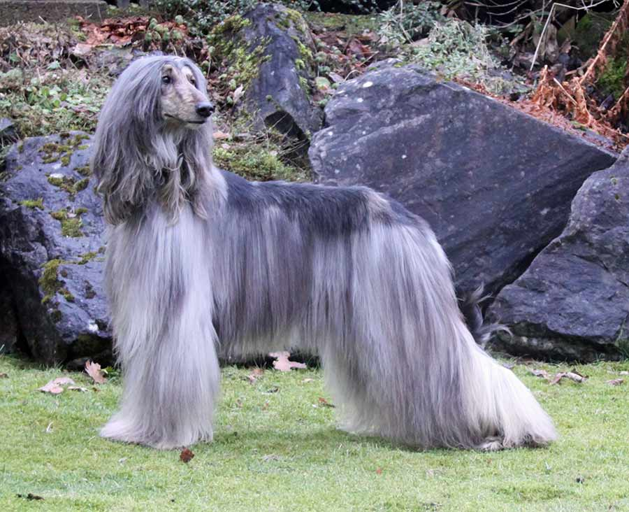 Afghan Hound  Dog Breed Standards