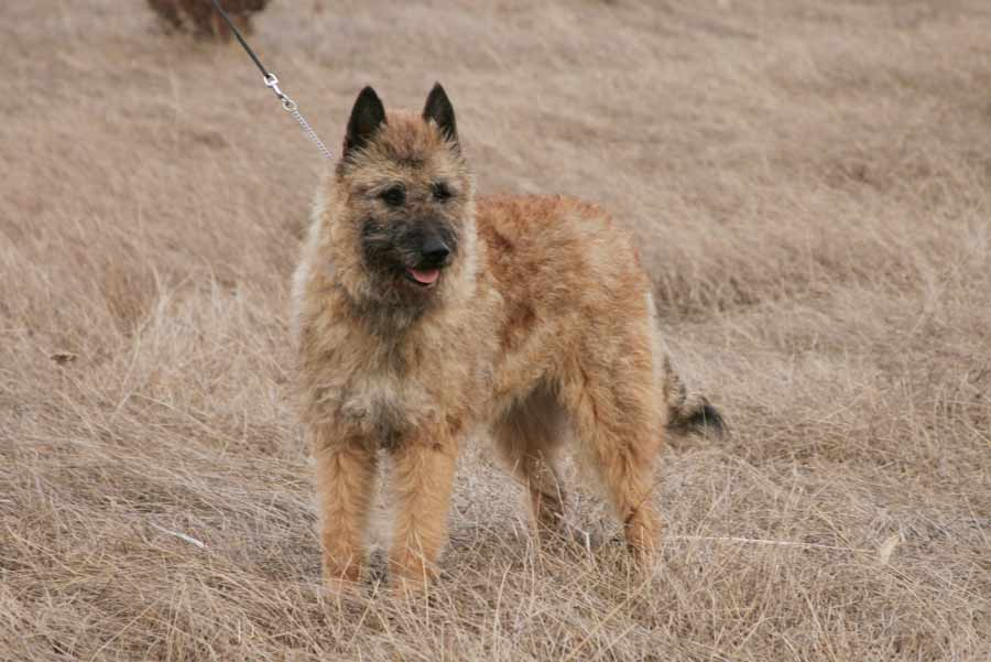 Belgian Laekenois - Dog Breed Standards