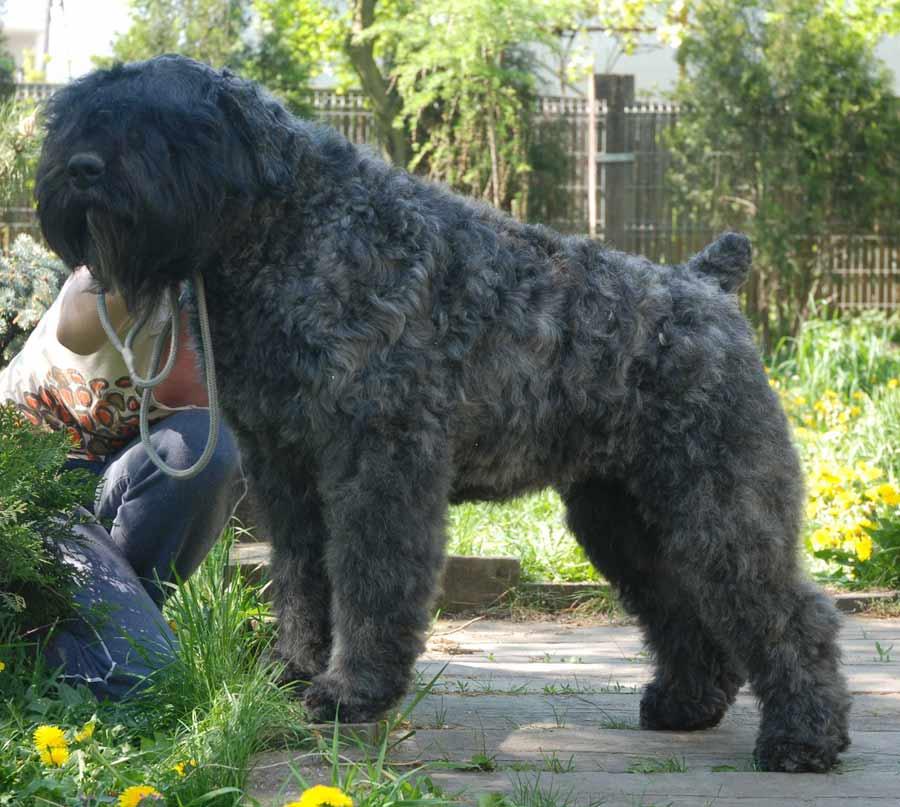 Bouvier des flandres dog breed standards