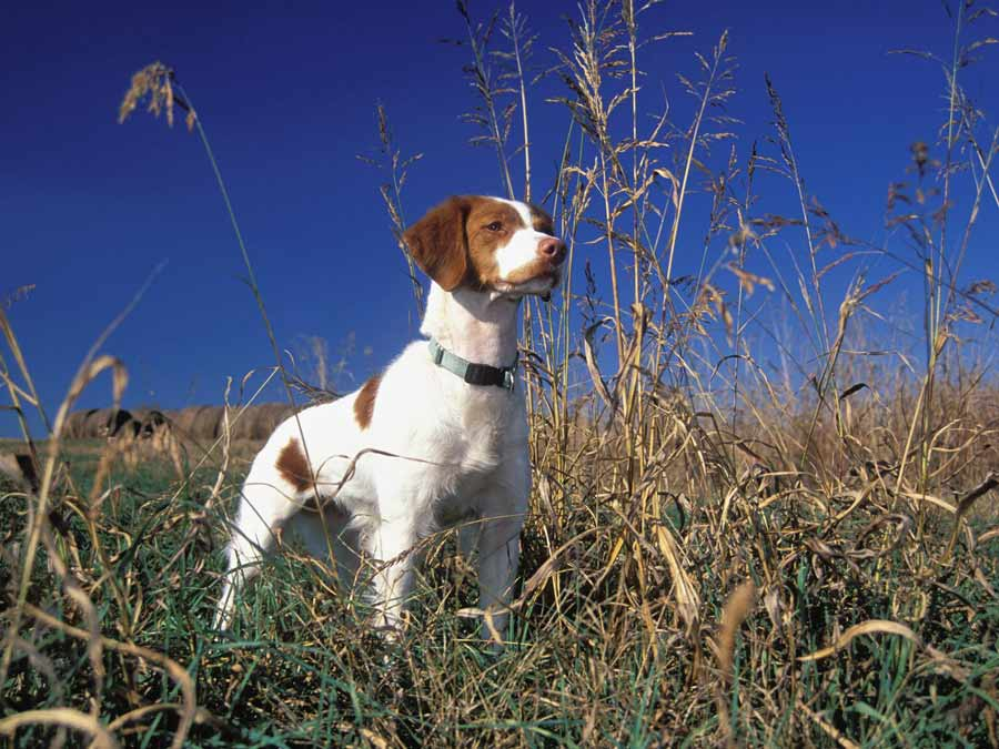 Brittany Spaniel - Dog Breed Standards