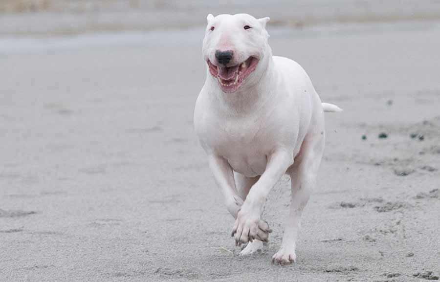 Bull Terrier - Dog Breed Standards