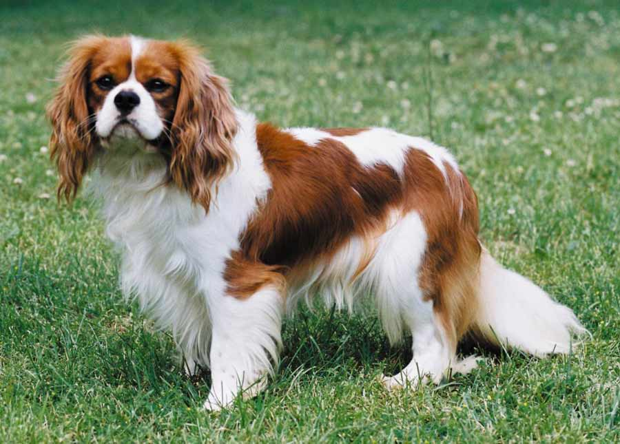 Cavalier King Charles Spaniel Dog Breed Standards