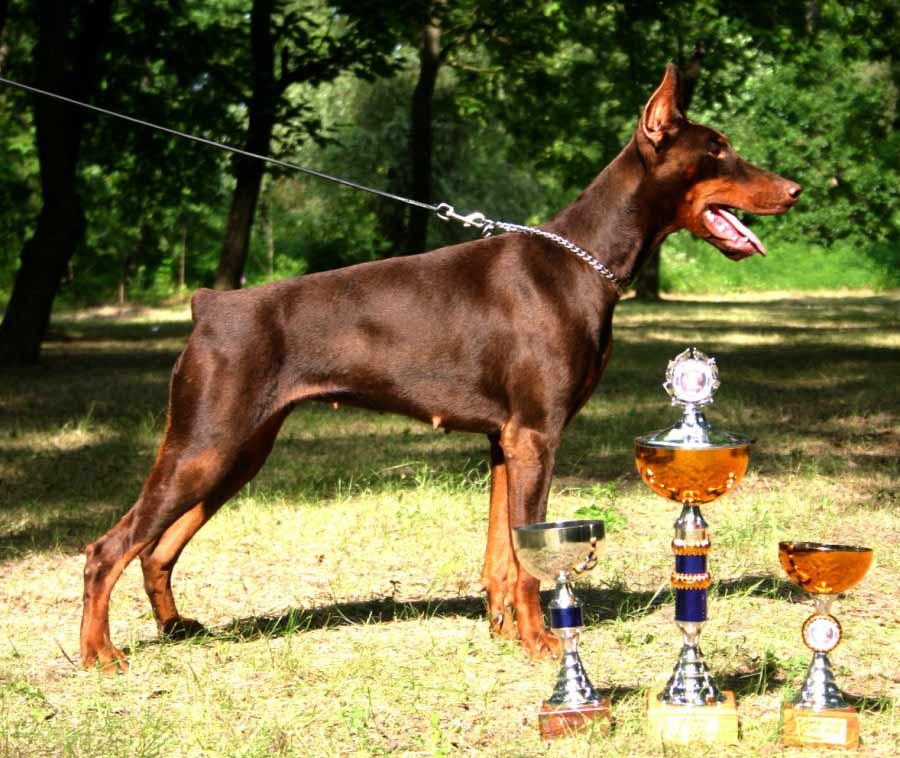 Doberman Pinscher Dog Breed Standards