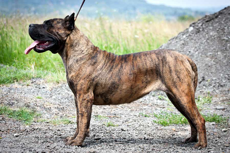 Dogo Canario Dog Breed Standards
