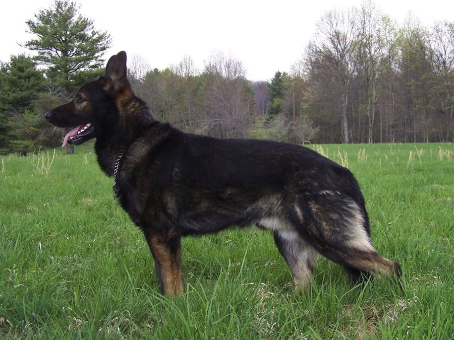 East German Working Line German Shepherd