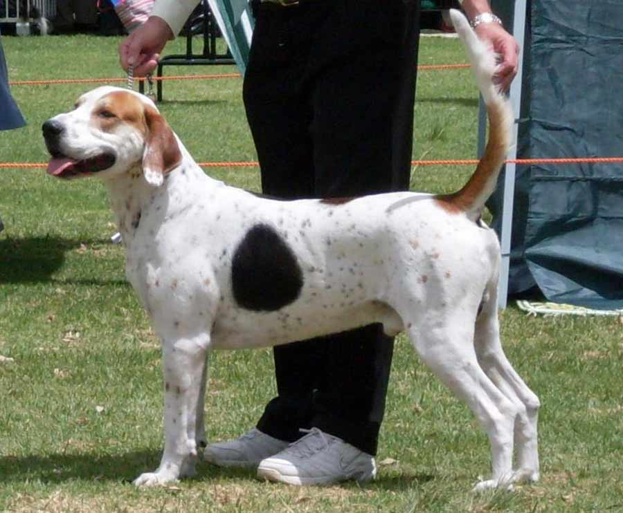 English Foxhound - Dog Breed Standards