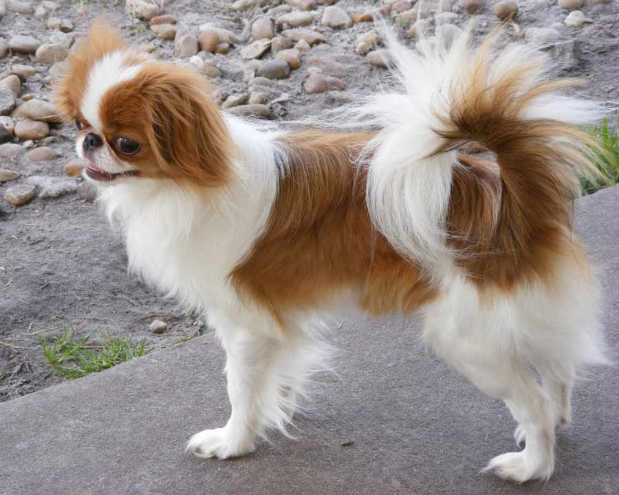 English Toy Spaniel Breeders Louisiana English Toy Spaniel  also