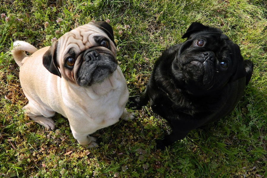 Pug - Fawn and Black