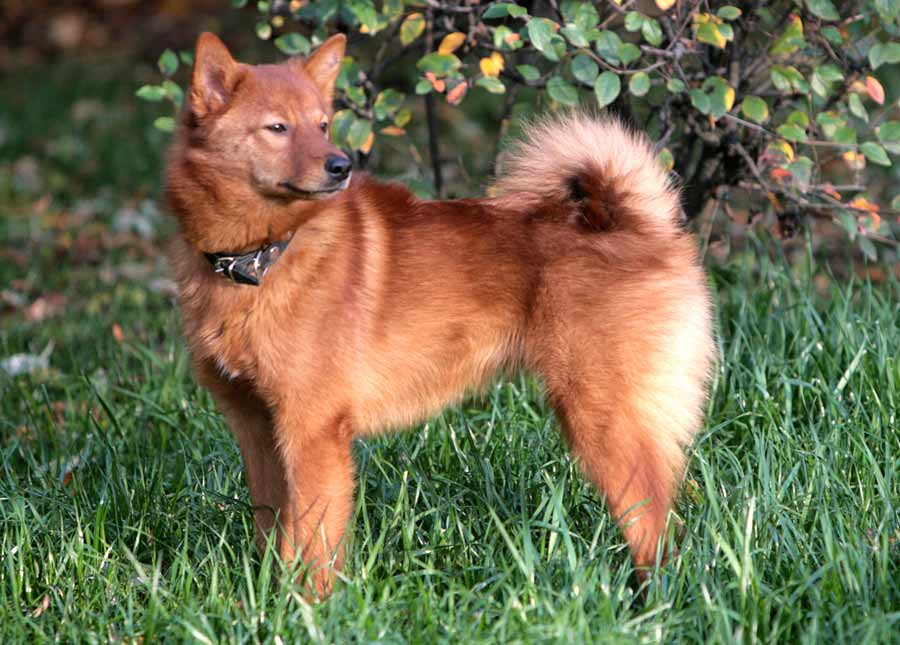 Chinese Spitz Dog | Dog Breeds Picture