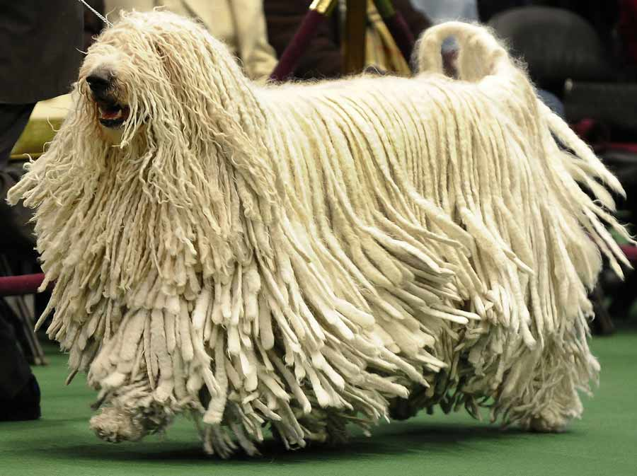 Komondor, Komondor information, Komondor pictures ... Komondor Dog Pictures