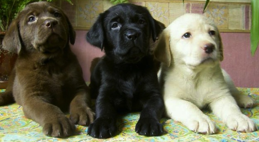 Labrador Retriever Colors