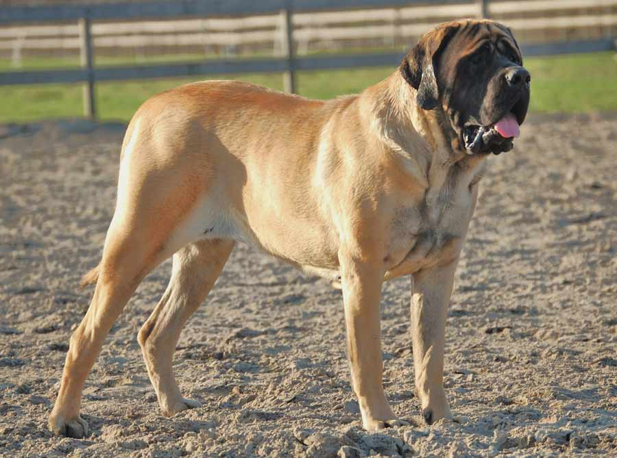 Mastiff ( Old English Mastiff )