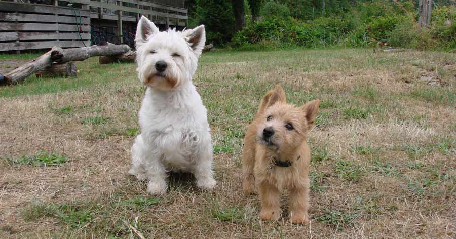 Norwich and Norfolk Terriers