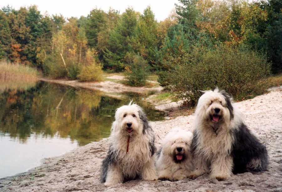 Old English Sheepdog Dog Breed Standards