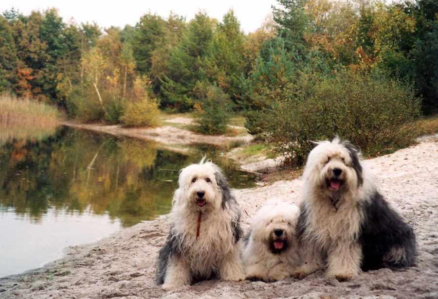 Old English Sheepdog Dog Breed Standards