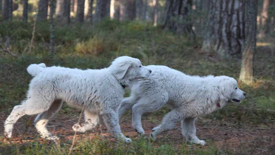 Polish Tatra Sheepdog ( Polski Owczarek Podhalanski )
