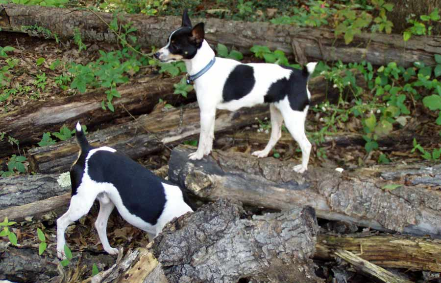 Rat Terrier Dog Breed Standards