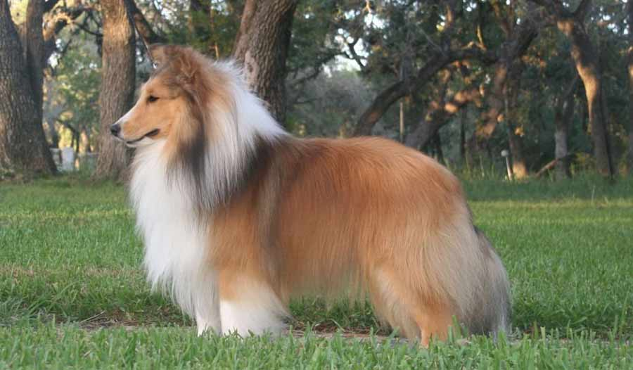 What Is The Best Dog Food For A Sheltie