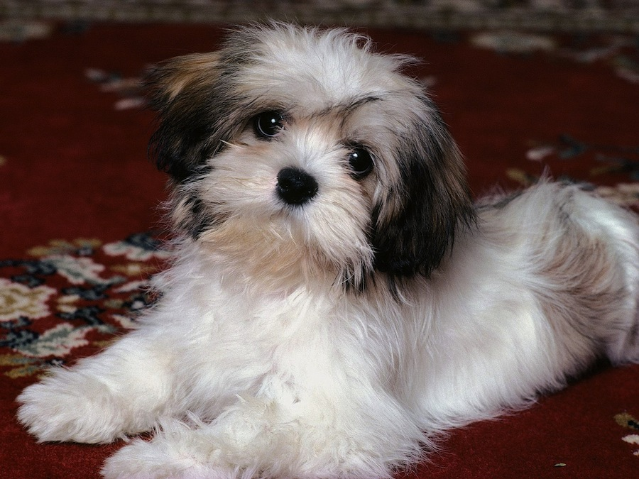 Shih Tzu Dog Breed Standards
