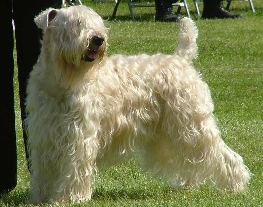... multi champion Soft coated wheaten terrier – Photography: Jean Lewis