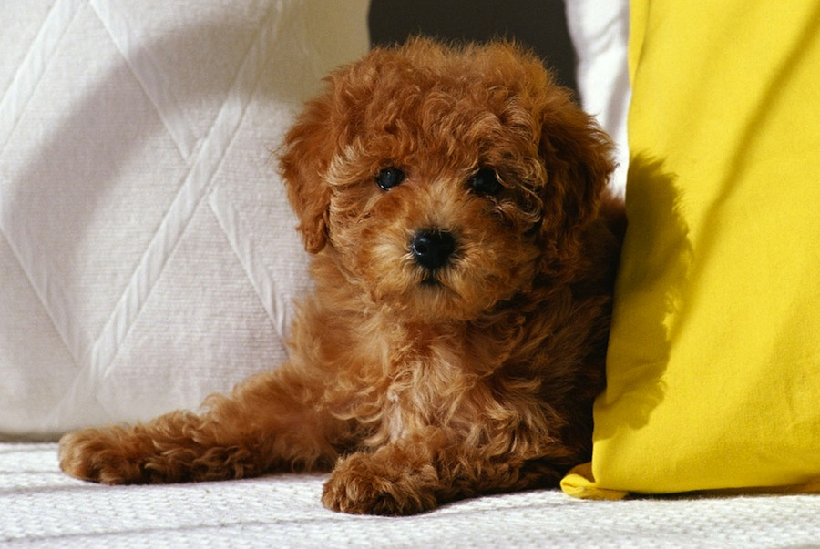 Poodle ( Toy Poodle ) - Dog Breed Standards