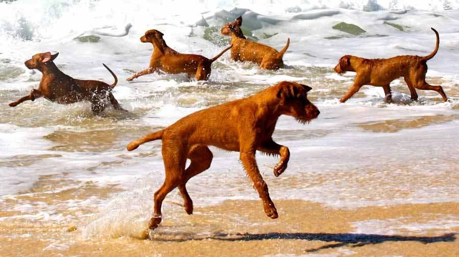 wirehaired vizsla was developed in the early 1900s by vizsla breeders ...