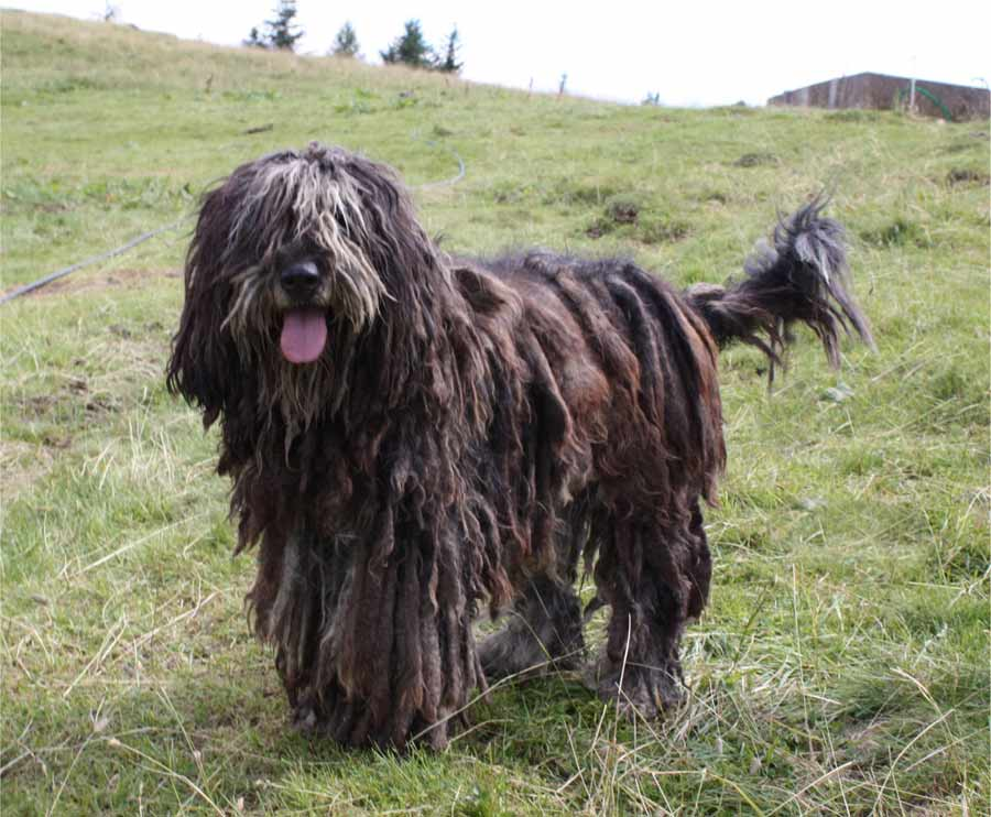 Bergamasco Sheepdog Dog Breed Standards