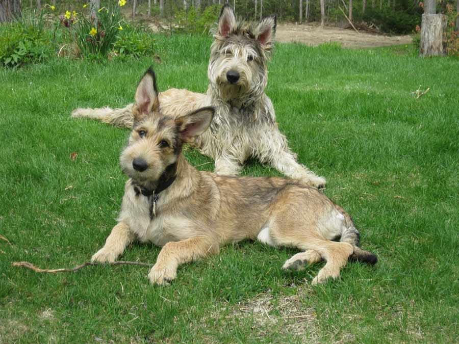 Berger Picard - Dog Breed Standards Xoloitzcuintli