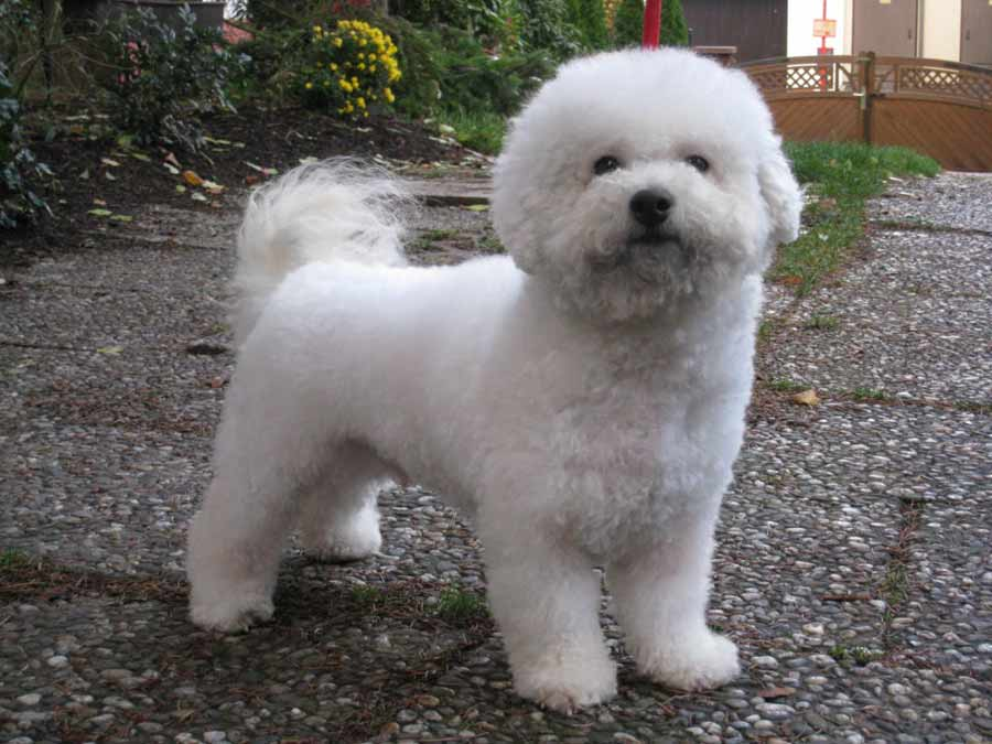 Happy Bichon Frise Puppies | Dog Breeds Picture