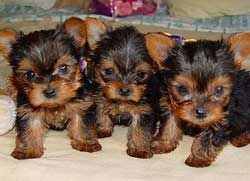 Chorkie Puppies on Chorkie Puppies