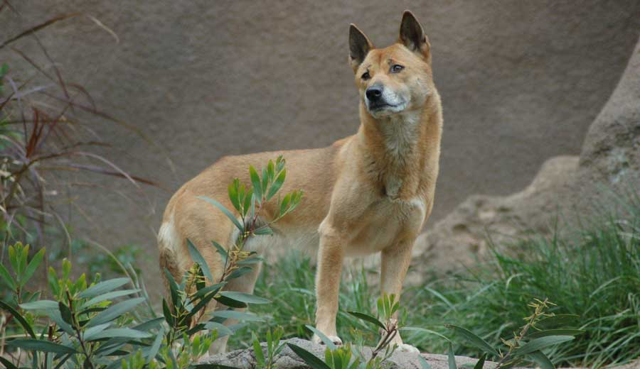 New-Guinea-Singing-Dog