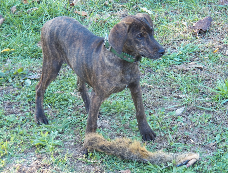 Treeing Tennessee Brindle is a breed of cur. Since 1995, its records