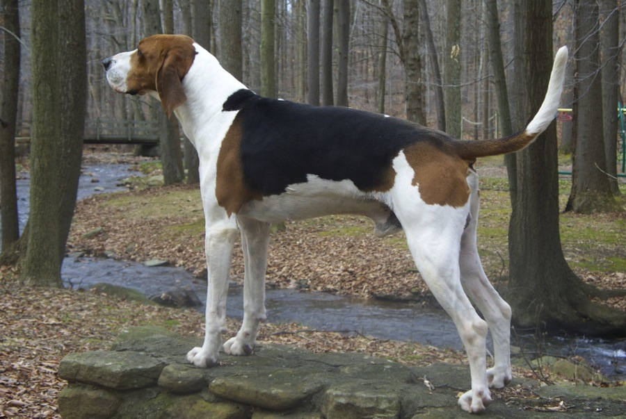 treeing-walker-coonhoung