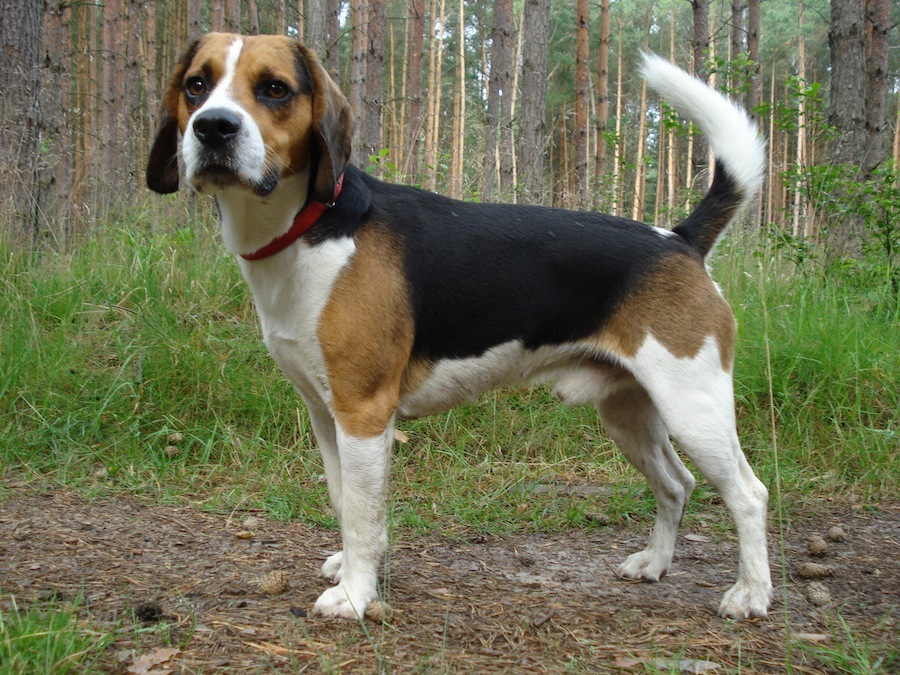 Beagle Harrier mix