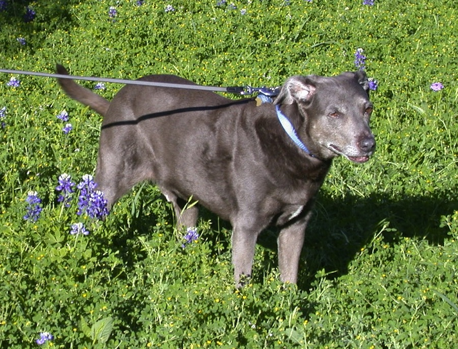 Blue Lacy Dog Breed Standards