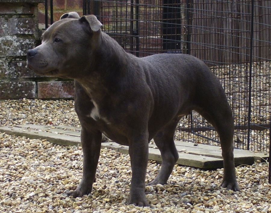 Blue Paul Terrier