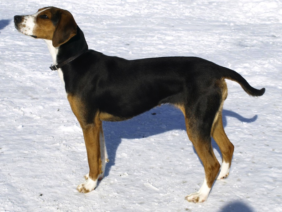 Finnish Hound Dog Breed Standards