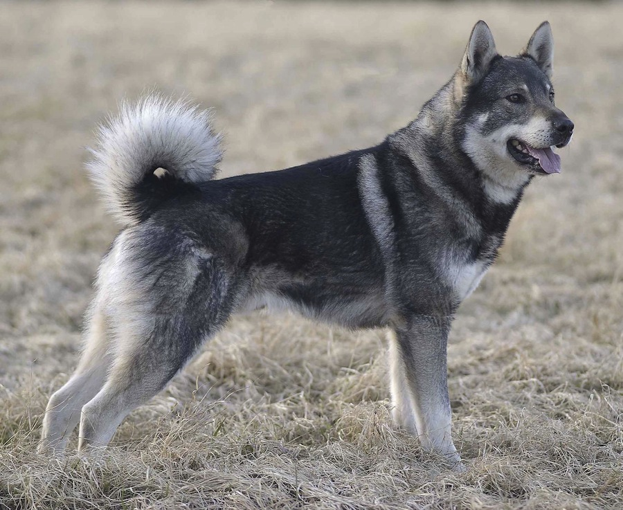 Dog Type With Wolf In Breed Name