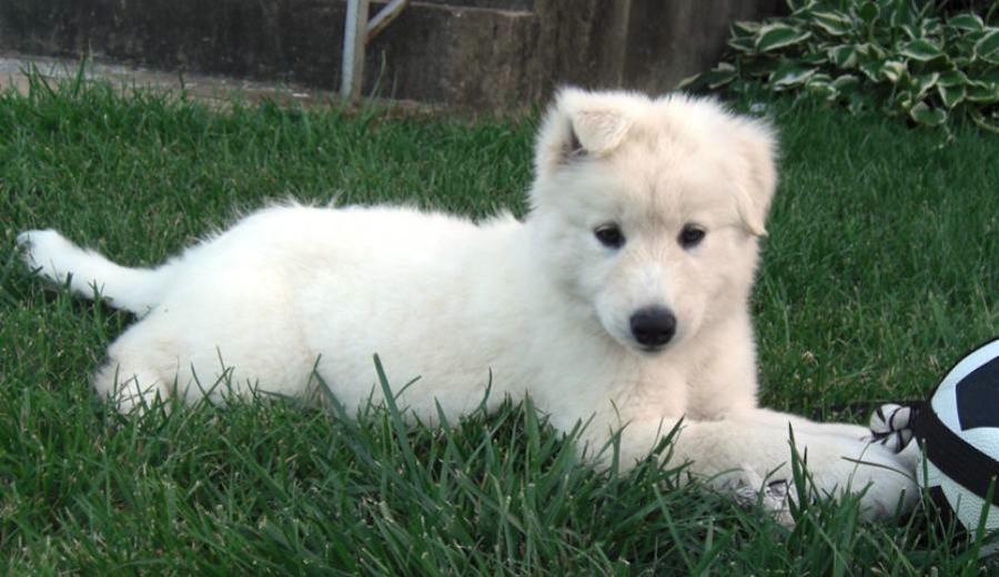 Labrador Husky