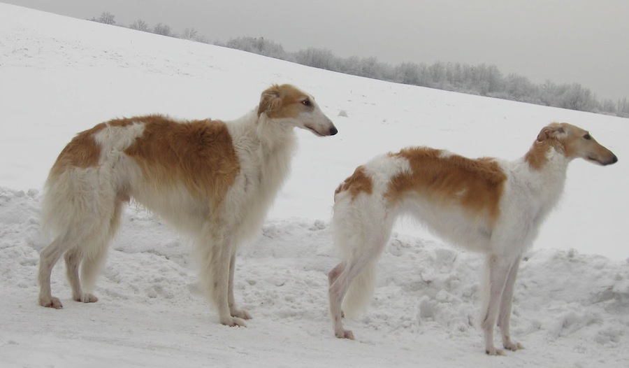 Old Croatian Sighthound