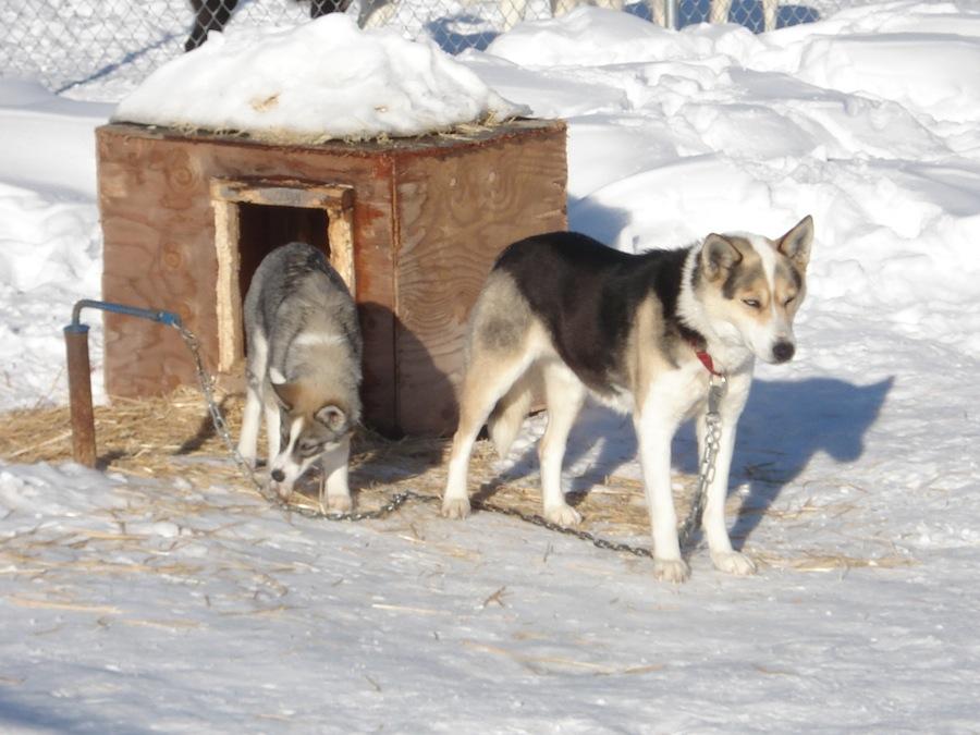 Seppala Siberian Sleddog