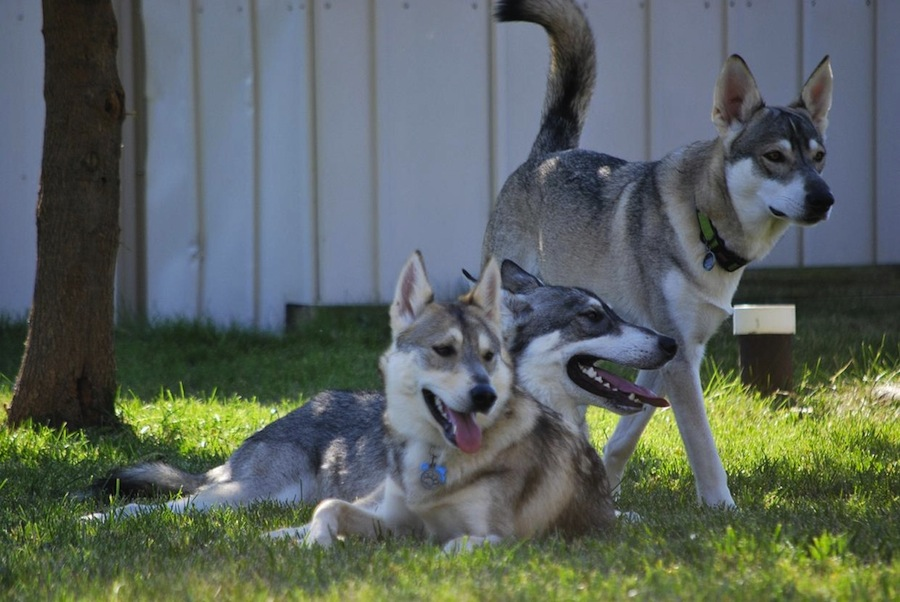 Tamaskan - Dog Breed Standards
