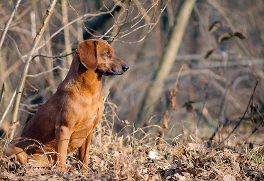 Tyrolean Hound